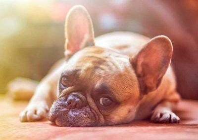 perros-bulldog-frances