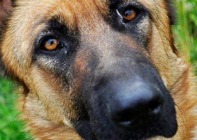 perros-pastor-aleman